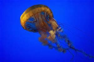 jellyfish1