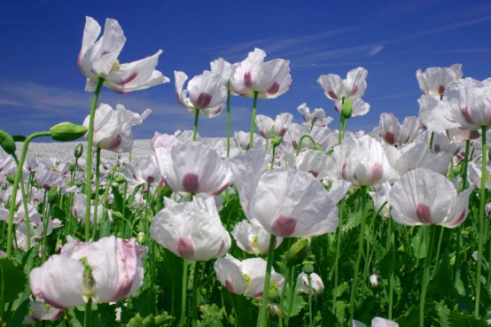 Image result for white poppies