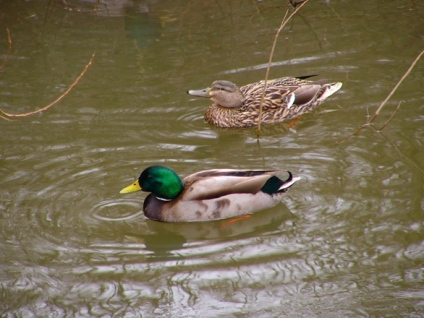 male & female ducks in water Bing image