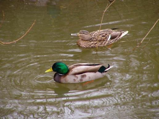 male & female ducks in water Bing image