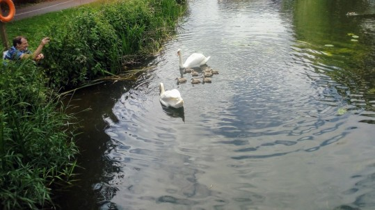Swans and cignets (cropped photo) close up